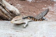 The Scaling Lizard Scrambles Forward