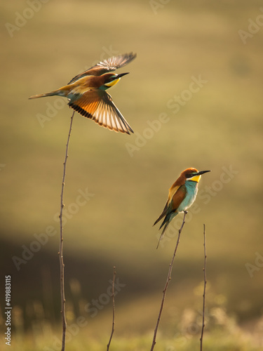 Beautiful and colourful bee eater on the stick with doph background