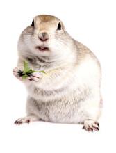 Ricardsons Ground Squirrel