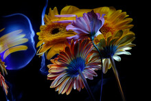 Eustoma And Gerbera Flowers Yellow And Orange With Stems And Their Reflection In A Crooked Mirror