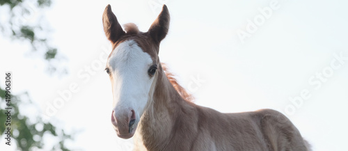 Obraz na plátně Bald face foal horse banner with closeup of baby farm animal isolated on sky background