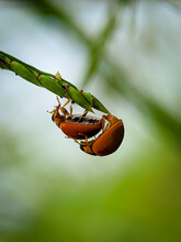 A Pair Of Beetles Are In A Paddy Tree Isolated With Blur Background. Shot By Smartphone. Selective Focus, Defocus And Out Of Focus Image.