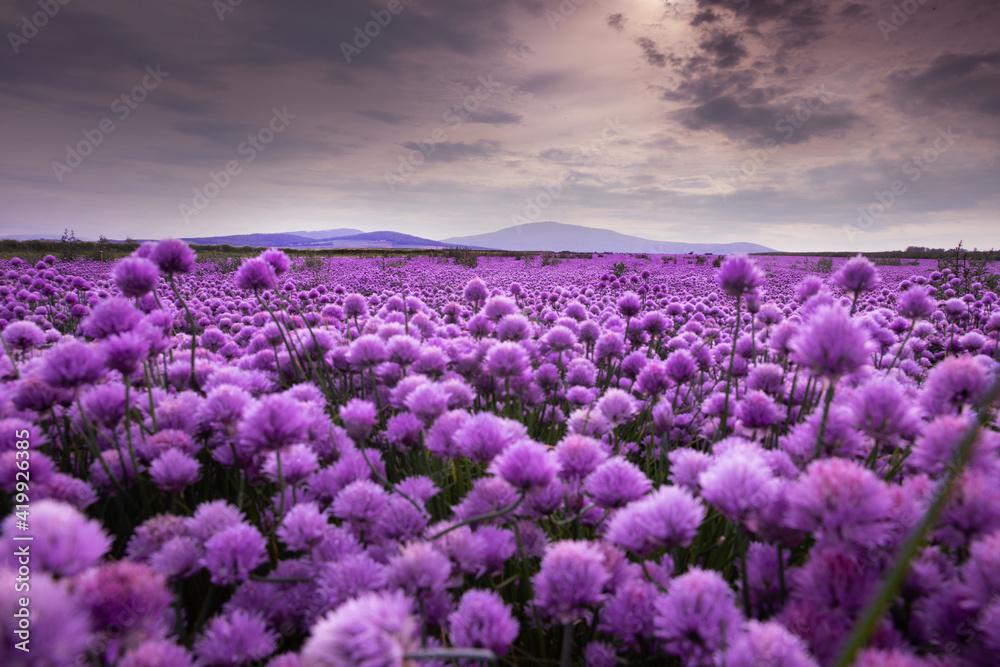 Fototapeta pole pełne kwiatów - obraz na płótnie
