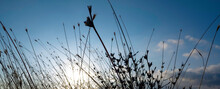 Panoramic View With Weed Stem Silhouettes Moving In The Wind In Front Of A Cloudy Blue Sky. Relaxing Natural Background With Copy Space