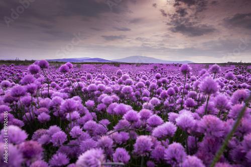 Fototapeta pole pełne kwiatów obraz na płótnie