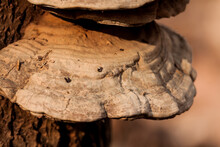 Bracket Fungus On Tree Close-up