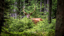A Deer Camouflages Itself In The Forest And Watches The Surroundings.