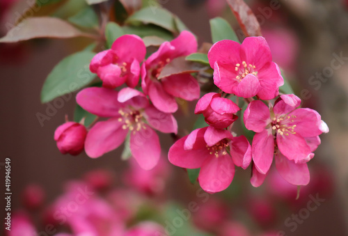 Fototapety, obrazy: branch of blooming apple tree with bright pink flowers