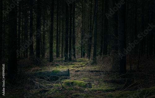 Fototapeta Pine woodland scene obraz