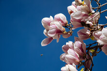 Blossoming Magnolia Flowers Against Blue Sky Background In Springtime. Flowers Natural Background, Horizontal Composition.Spring Floral Background With Magnolia Flowers.