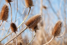 Thistle Grass Against The Sky