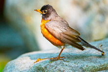 USA, Minnesota, Mendota Heights, Mohican Lane, American Robin