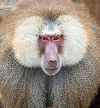 Male Royal Baboon With Its Broad Coat And Expression Of Leadership