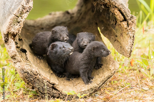Fototapeta Pine County. Captive adult and baby minks.