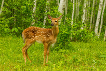 USA, Minnesota, Pine County. White-tailed Deer Fawn Close-up.
