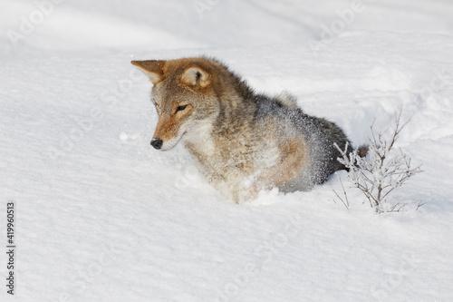 Fotografija Coyote in deep winter snow, Montana.