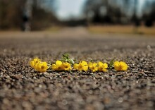Some Little Yellow Flowers Lying On A Road