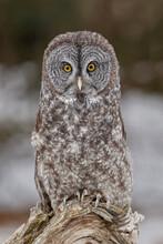 Great Gray Owl In Winter, Montana.