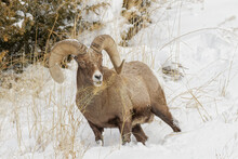 Adult Male Bighorn Sheep In Winter, Yellowstone National Park, Montana.