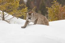 Mountain Lion In Winter Snow, Montana.
