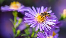 Bee On A Purple Flower.