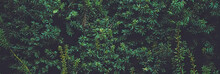 Green Spruce Shrub Wall As Plant Texture And Nature Background Design