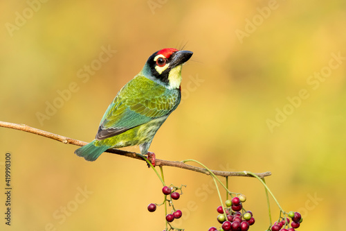 Leinwand Poster A copper smith barbet eating berries in the bushy jungles on the outskirts of ba