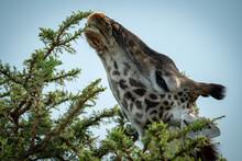 Close-up Of Masai Giraffe Chewing Thornbush Branch