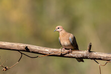 A Laughing Dove Perched On A Tree Branch In The Bushy Jungles On The Outskirts Of Bangalore