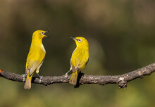 Two Oriental White Eyes Fighting For A Better Position To Eat Fruits In The Bushy Jungles On The Outskirts Of Bangalore