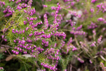 Erica X Darleyensis Flower Grown In A Garden