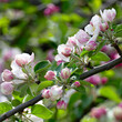canvas print picture Young leaves and flowers of an apple