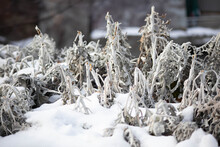 Background And Texture Of Silver Moss In The Snow. Macro. Plants Dried Flowers Winter.