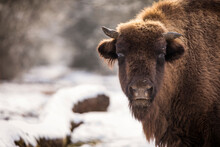 Bisons In Forest During Winter Time With Snow. Wilde Life