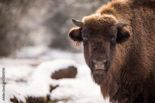 Fototapeta Bisons in forest during winter time with snow. Wilde life obraz