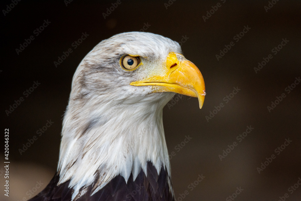 Fototapeta orzeł, ptactwo, bielik amerykański, dzika natura, ptak drapieżny, symbol, ameryka, drapieznik, dzika, majestatyczny