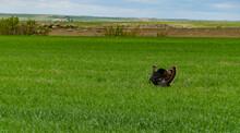 The Wild Turkey (Meleagris Gallopavo), USA