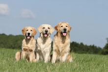 Trois Golden Retriever D'âge Différents Assis Dans Une Prairie