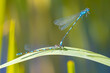 canvas print picture - Variable damselfly or variable bluet Coenagrion pulchellum mating