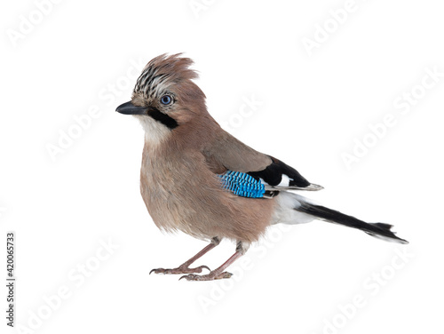 Fotografiet beautiful jay isolated on white background