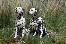 Famille Dalmatien Assis