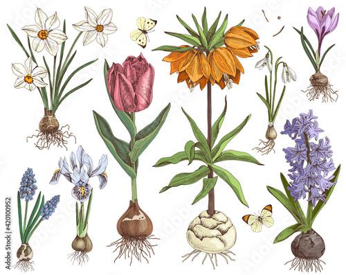 Fototapeta Hand drawn spring bulbous flowers obraz