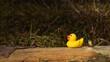 canvas print picture - gelbe Gummiente sitzt auf Baumstamm im Wald