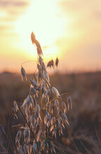 Oat Stems On A Background Of Setting Sun And Sunset Colorful Sky.