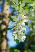 Bee On Acacia