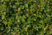 Closeup Of Hedge Of Shrub Cotoneaster Lucidus For The Background Texture. Green Leaves With Rain Drops Nature Wallpaper
