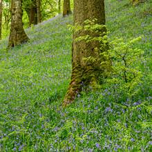 Bluebells Carpeting Woodland Hillside 3991