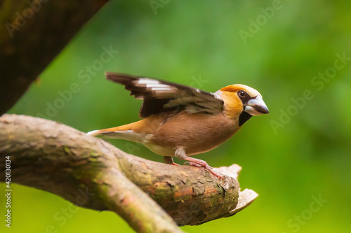 Fotografie, Obraz Beautiful hawfinch male, Coccothraustes coccothraustes, songbird perched on wood