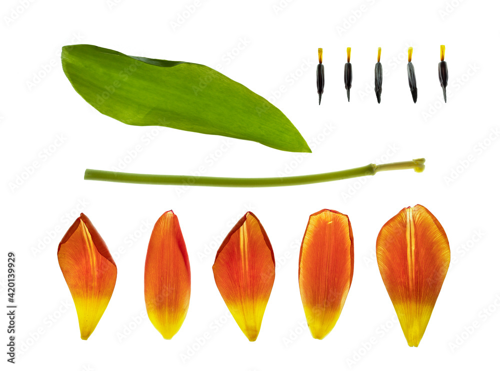 Fototapeta tulipan Zrób to sam DIY części
