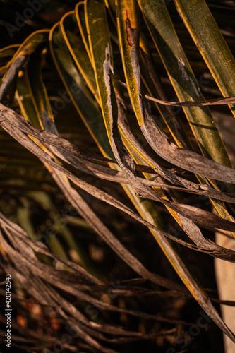 Fototapeta premium Naturalne tło, zielone liście palmy kokosowej, zbliżenie.